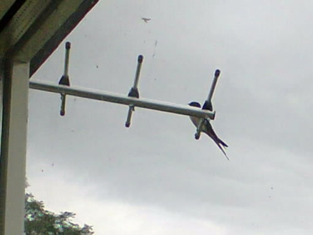 swallow on diamond antenna